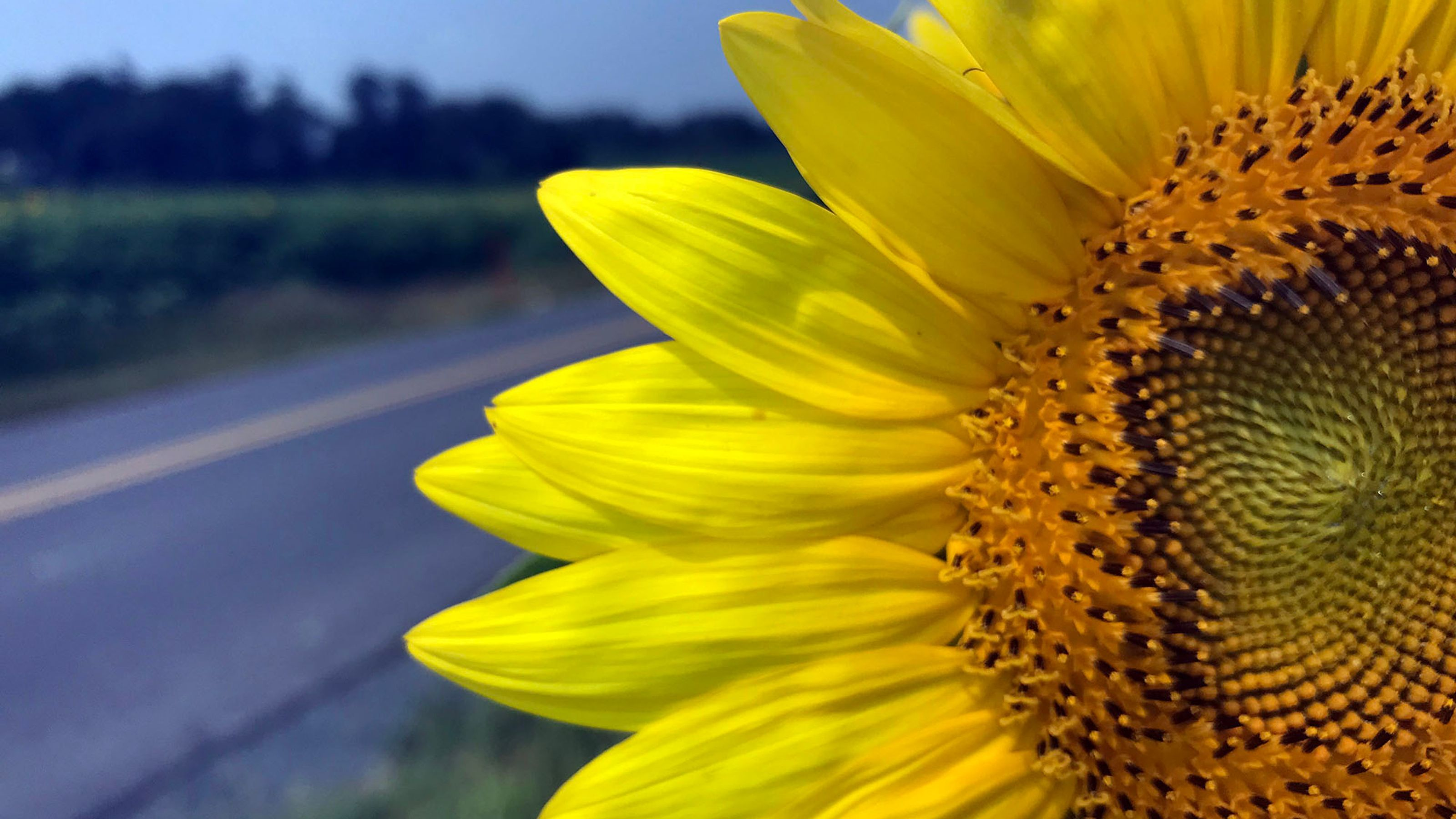 A Giant Sunflower Field Is In Bloom South Of Chambersburg Pa Giant Sunflower Sunflower Fields Sunflower