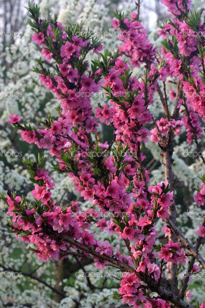Pink Flowers Of A Dwarf Peach Tree Peach Trees Dwarf Fruit Trees Pink Flowers