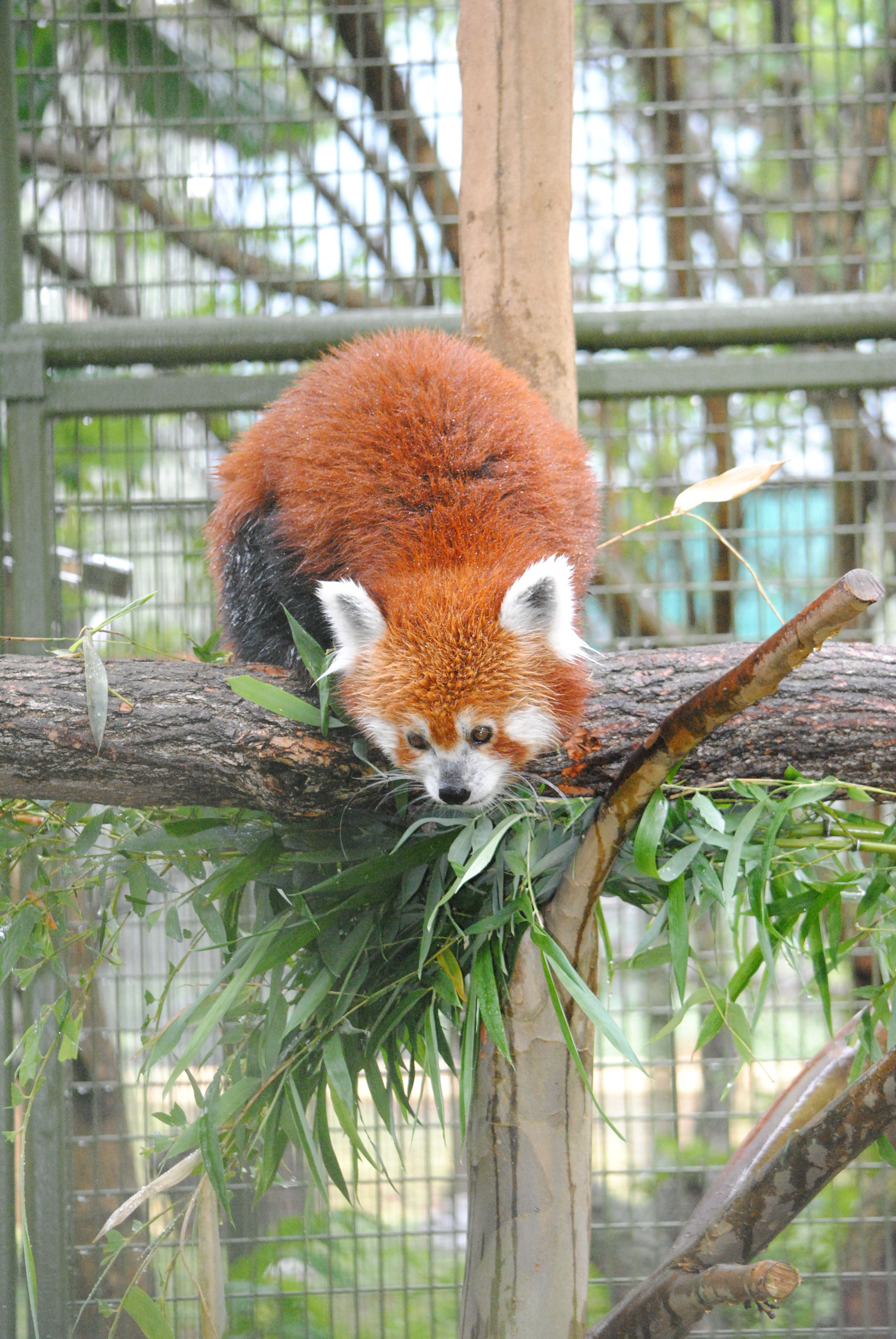 Mesker Park Zoo And Botanic Garden Welcomes A Red Panda With