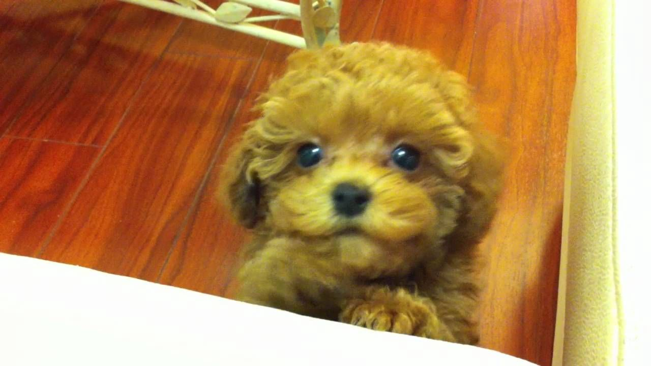 Image Result For Toy Poodle Dogs Tiny Toy Poodle Poodle Puppies