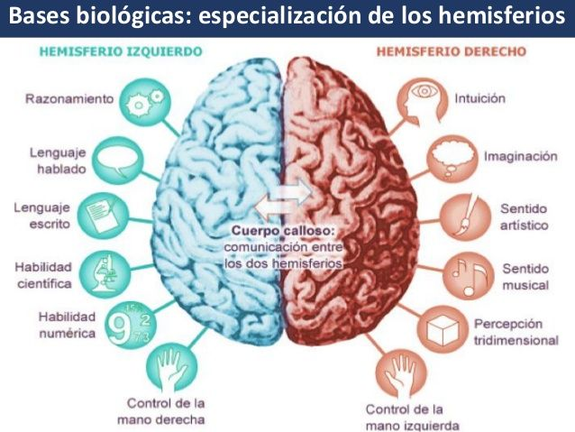 Bases Biológicas Del Aprendizaje Anatomia Del Cerebro Humano El Cerebro Del Niño Hemisferio Derecho