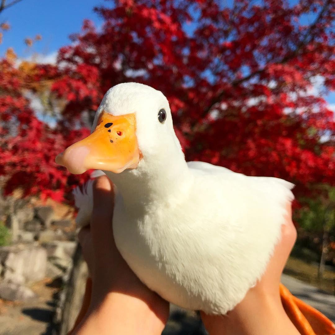 Haru On Instagram 本日はお寒う御座います 我が家はハルだけ絶好調 アヒル コールダック 鳥 動物 かわいい 綺麗 紅葉 Callduck Duck Bird Animal B Cute Baby Animals Cute Ducklings Cute Little Animals