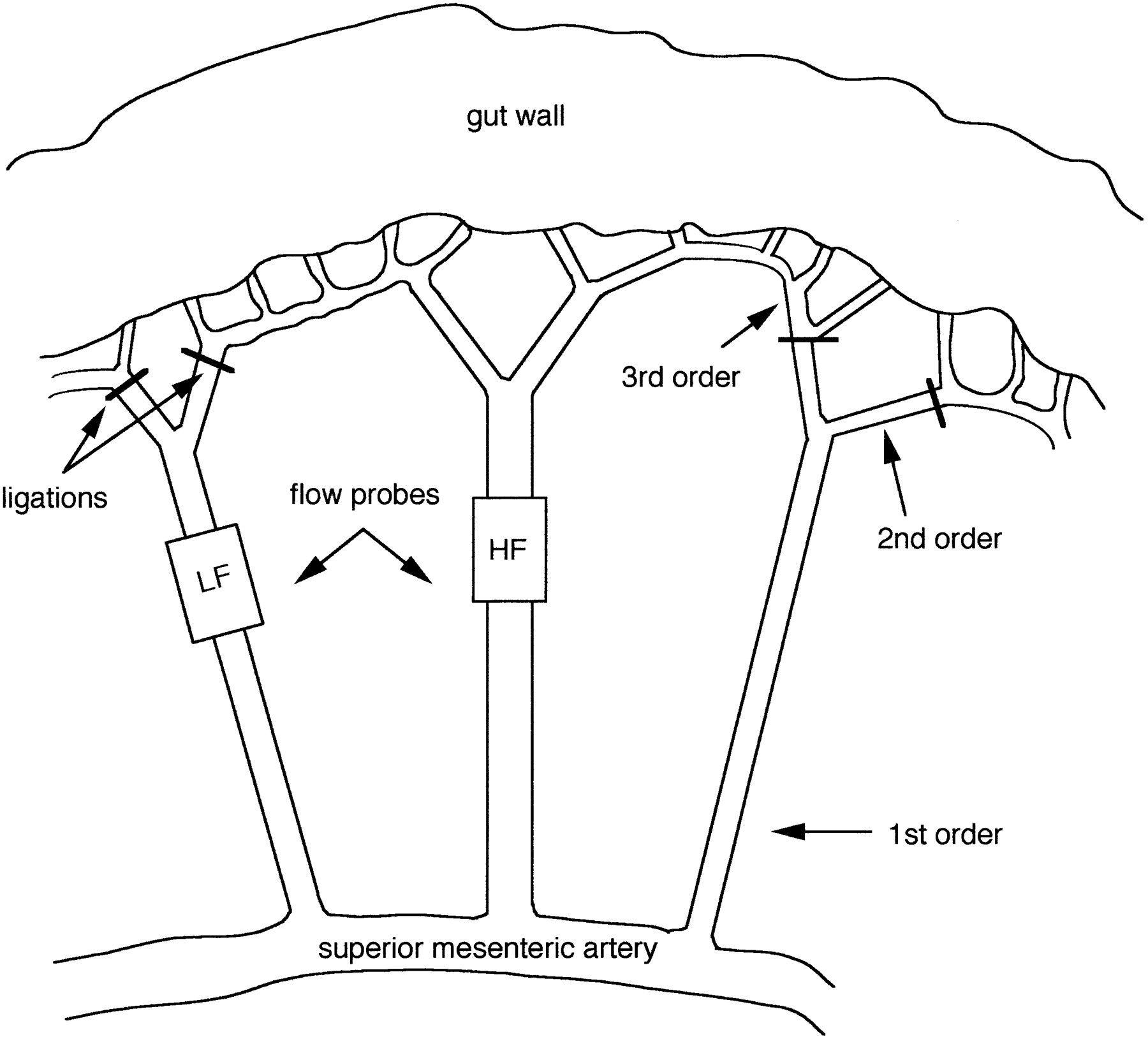 Image Result For Rat Mesenteric Vessels