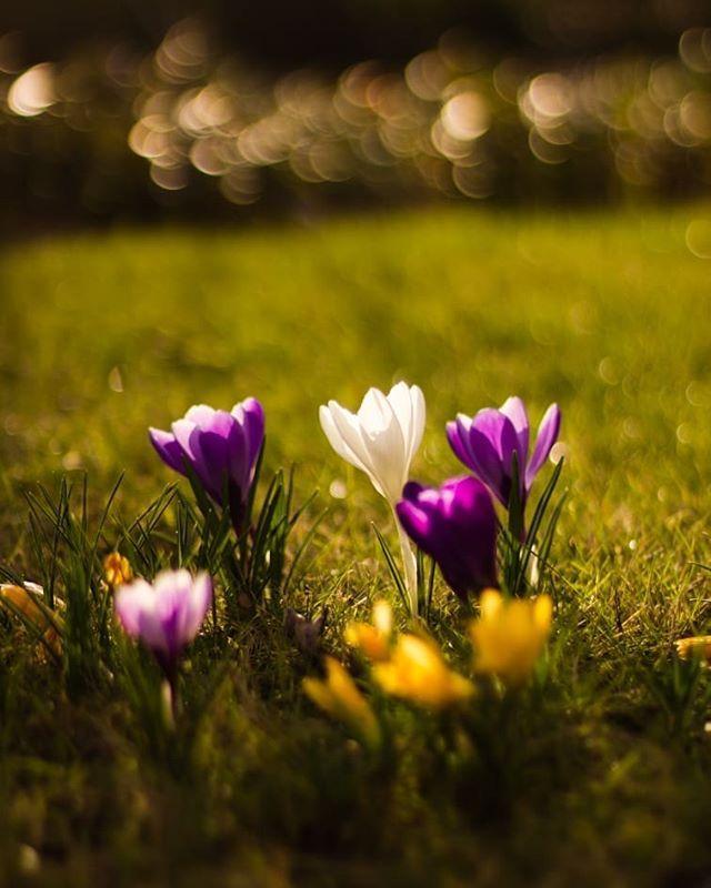 Croci and sunset. .  #sunset #crocus #krokussen #spring #springtime #sunnyday #sunshine #purpleflowers #indigo #lightworker #macroflowers #macrolover #macro_freaks #macro_dutchies #macro_captures #macrorose #macro_mood #macrophotography #naturephotography