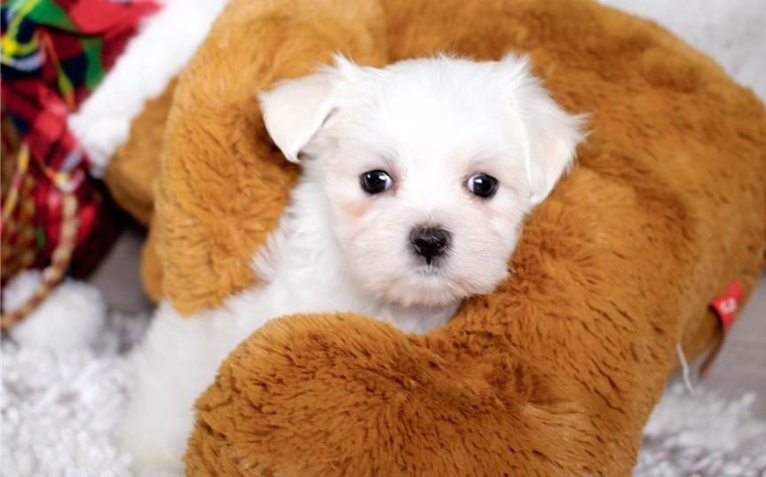 Want To Adapt Verity Of Puppies Then You Can Search It Here Tcup Maltese Puppies Homes It Is The Best Place Cheap Puppies Maltese Puppy Teacup Puppies Maltese