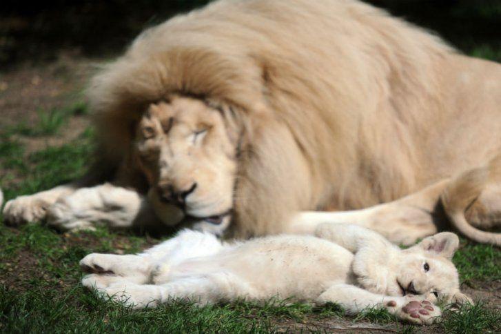 Tiernos cachorros de león blanco son sensación en | ELESPECTADOR.COM