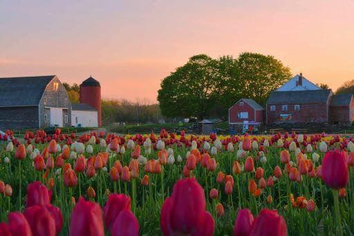 A Trip To Rhode Island S Neverending Tulip Field Will Make Your Spring Complete Flower Farm Tulip Fields Farm Photography
