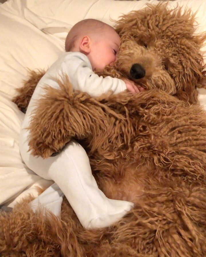 Baby Cuddles Up For A Nap With Sweet Goldendoodle