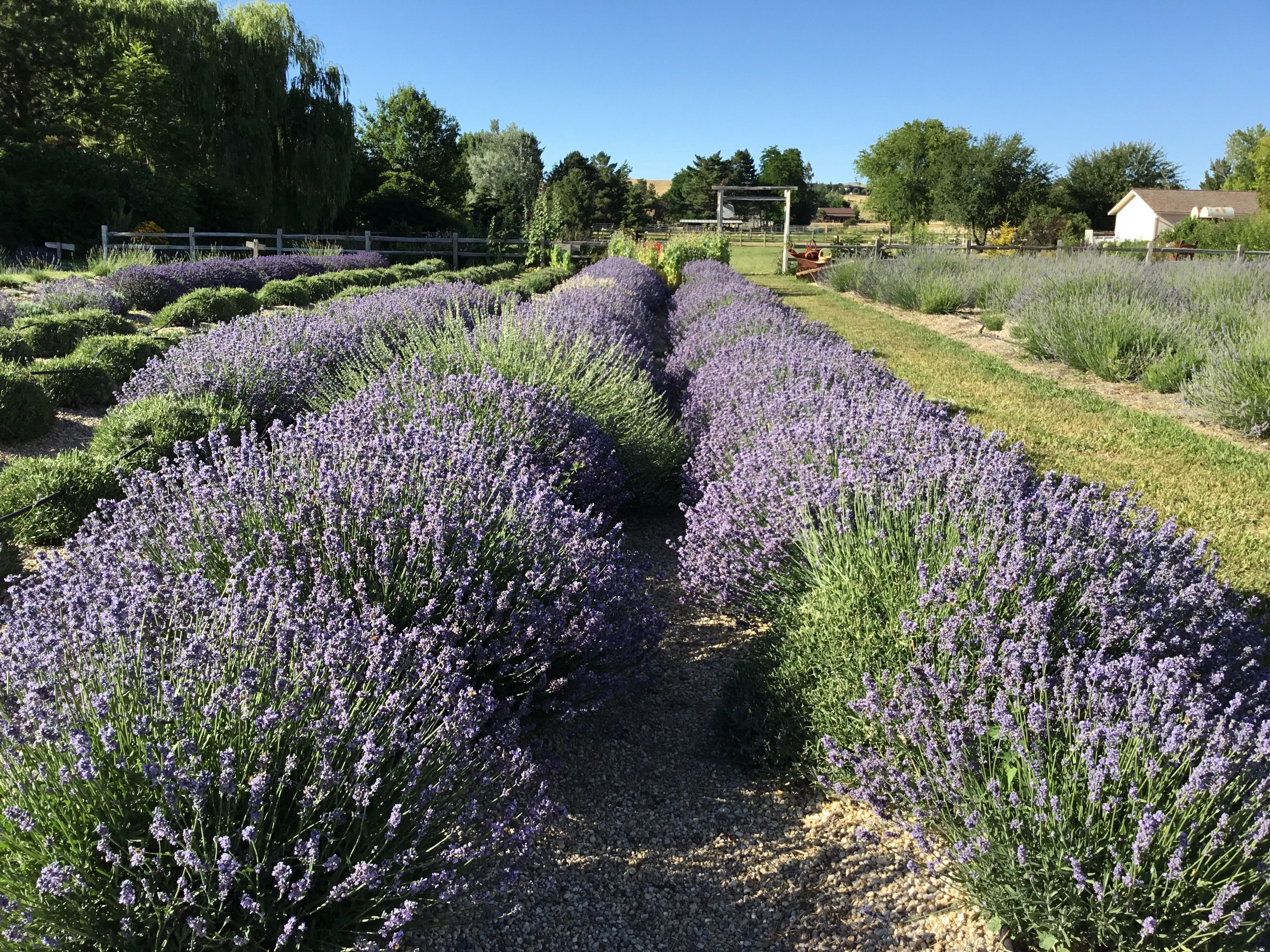 Things To Do In Eagle Idaho Red Chair Lavender Farm U Pick Lavender Down The Road Landscape Photos Lavender Farm Landscape