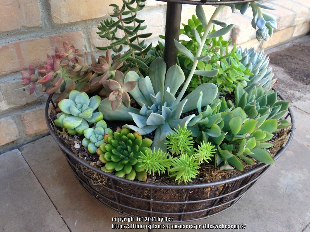 Base of potted plumeria succulents plants companion