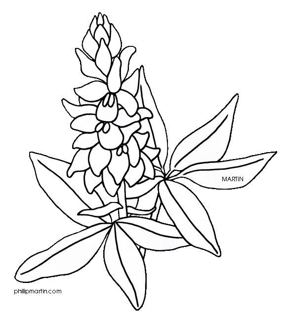 Texas State Flower Bluebonnet Flower Drawing Design Blue