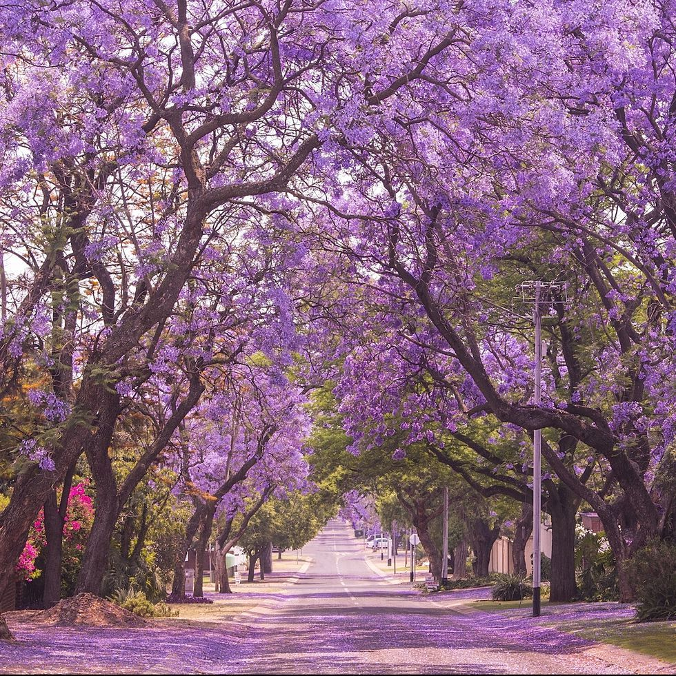 The West Coast Version Of The Cherry Blossom Has Just Started Blooming In California Jacaranda Tree Purple Trees Pretty Trees