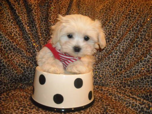 Tiny Maltese Purebred Dollface Pups Nonshed 8wks Old Maltese Puppy Puppies I Love Dogs