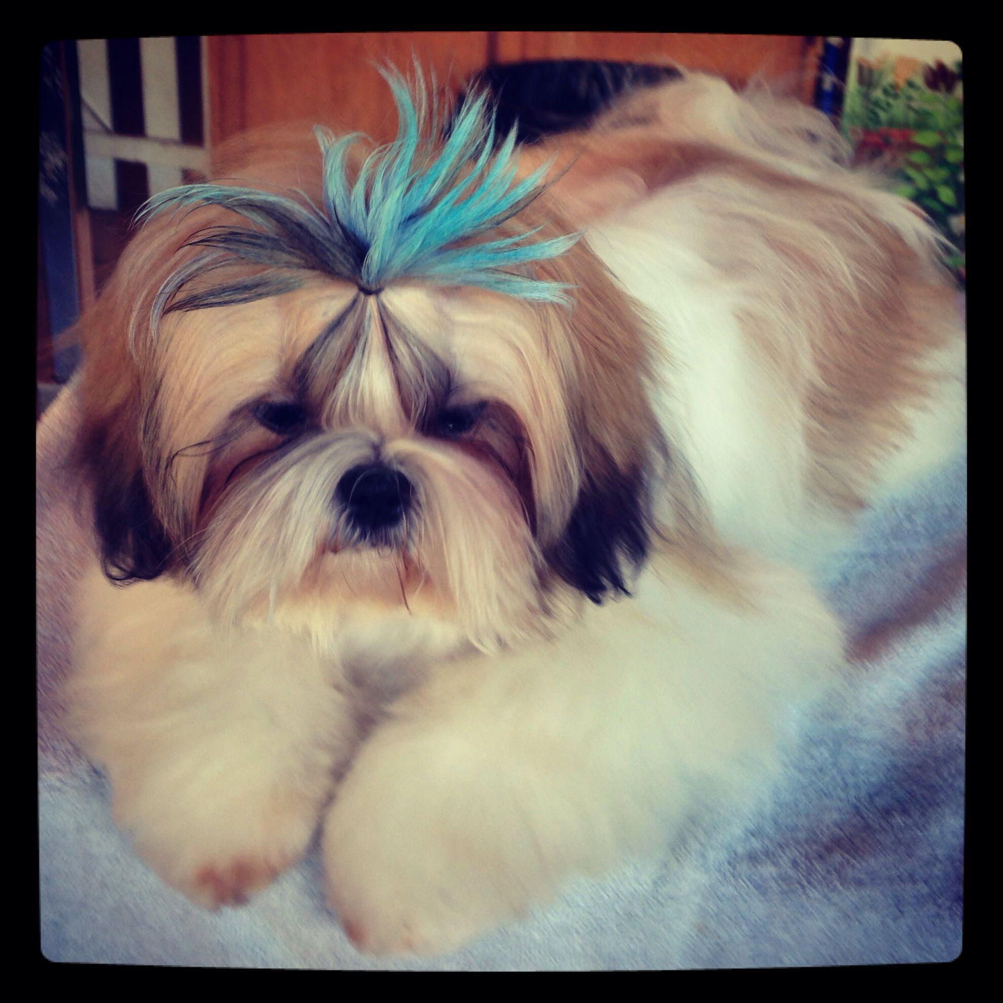 Shih Tzu With Blue Ponytail Shih Tzu Cute Little Animals Cute