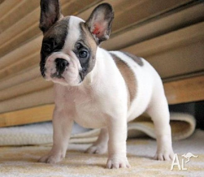 French Bulldog Puppies For Sale Brisbane Zoe Fans Blog French