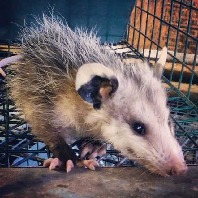 Baby Opossum Caught In An Attic In West Orlando By Www Floridawildlifebusters Com 407 733 8623 Opossum Opossums Babywildl Baby Opossum Baby Animals Opossum