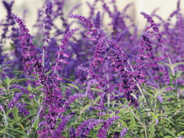 Late summer color for the garden perennials salvia and sage mexican bush sage perennials that love the sun distinguished by its velvety purple and white spires in late summer and fall this drought tolerant mightylinksfo
