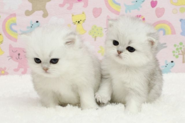 Teacup Kittens For Adoption Cute Cats Pictures Teacup Kitten Angora Cats Kitten Adoption
