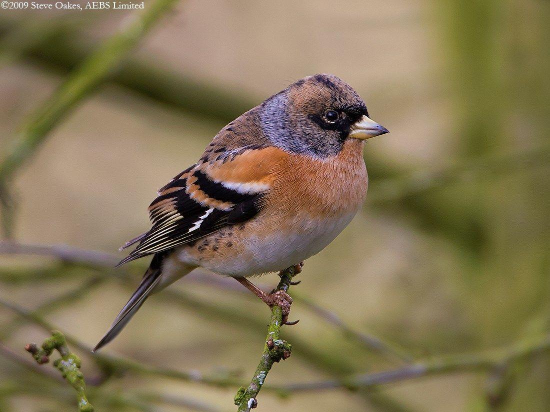 http://www.worldbirds.co.uk/images/oakes0/photos/image1253.jpg