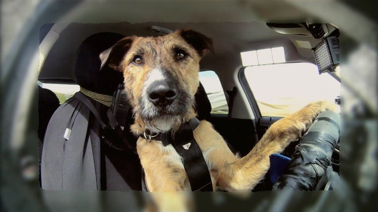 Trainers From The Spca Dog Shelter In New Zealand Taught Their Dogs How To Drive A Car Animal Stories Dogs Funny Dogs Rescue Dogs