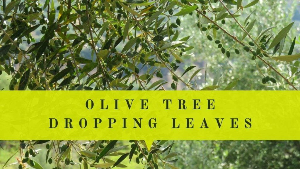 Why My Olive Tree Dropping Leaves Prevent Tree From Losing Leaves Potted Olive Tree Olive Tree Olive Tree Care