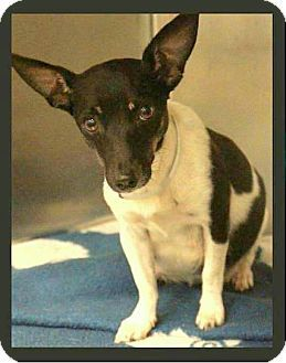 College Station Tx Rat Terrier Fox Terrier Smooth Mix Meet