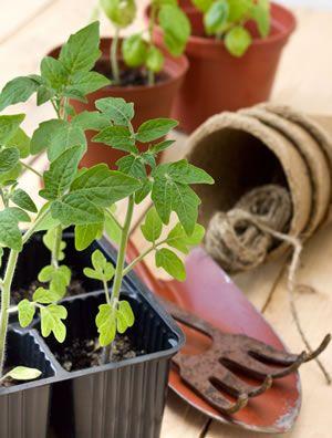 Tomaten Anbau Aussaat Pflanzen Und Pflege Anleitung Tomaten Pflanzen Pflanzen Urbane Landwirtschaft