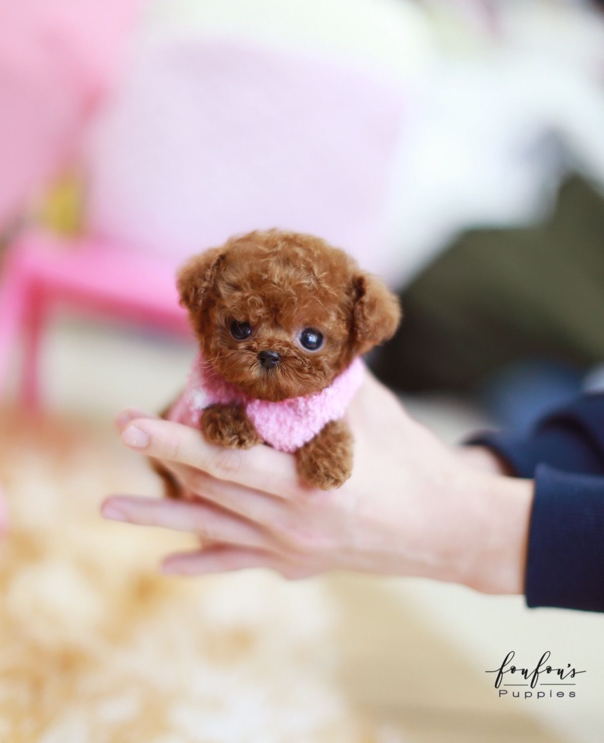 Meet in 2020 Cute dogs and puppies, Teacup
