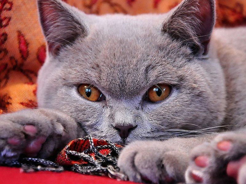 British Shorthair British shorthair, Indoor cat, Cat breeds