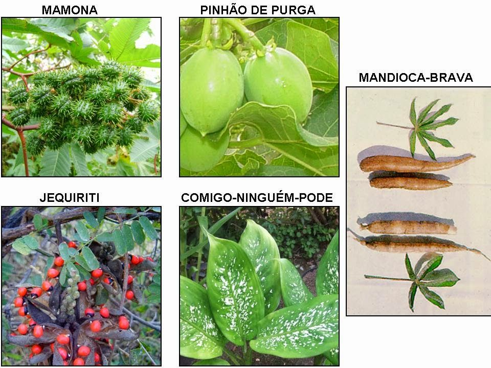 Liv pe biologia as cinco plantas extremamente venenosas for Planta venenosa decorativa