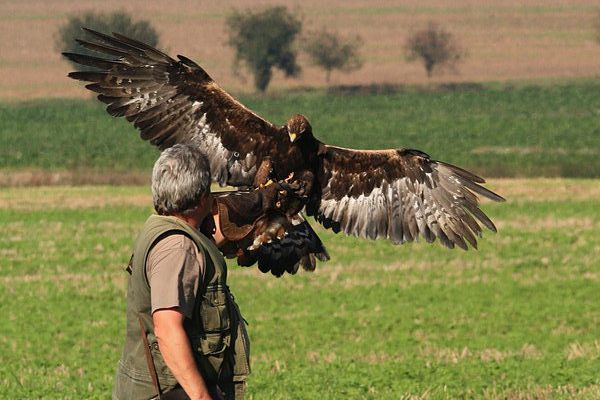 how to get a golden eagle for falconry