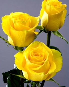 High And Yellow Magic Standard Rose Roses Flowers By