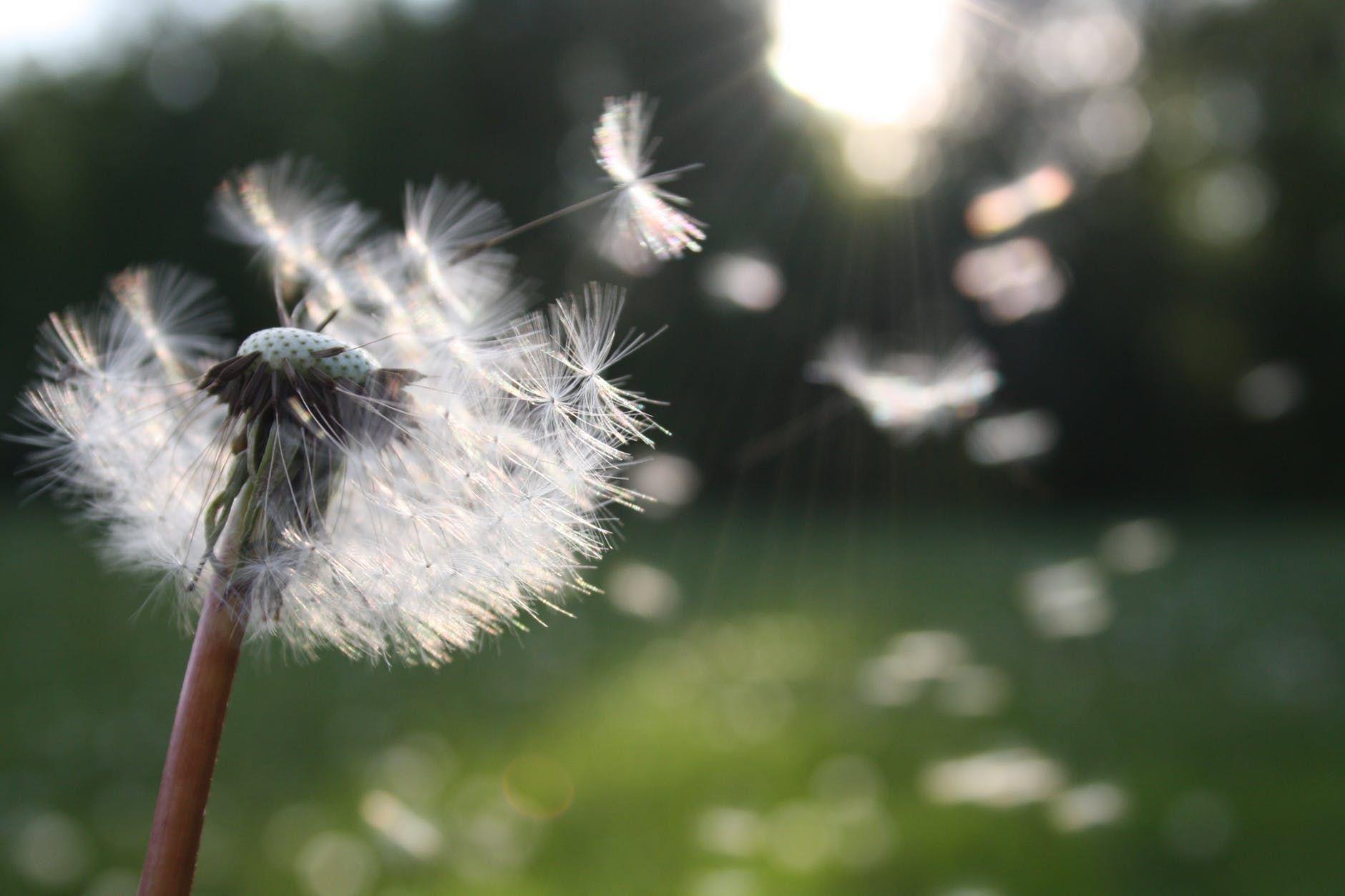 Dear Self Spring Allergies Dandelion Allergies