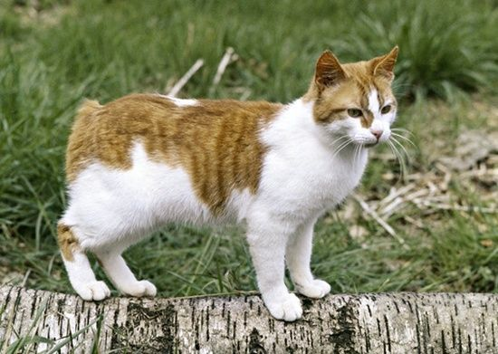 Orange Tabby And White Bi Color Manx Purebred Cats Cat Breeds Best Cat Breeds