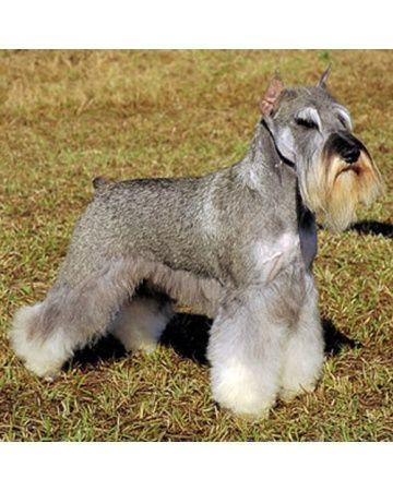 Miniature Schnauzer Good Family Dog Miniature Schnauzer Hypoallergenic Dog Breed Schnauzer