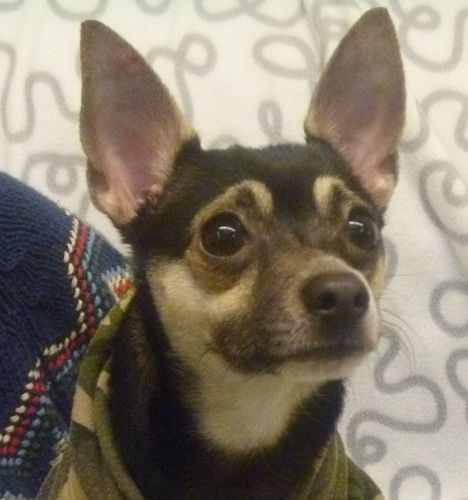 Smitty Is An Adoptable Chihuahua Dog In Seattle Wa Smitty Is A