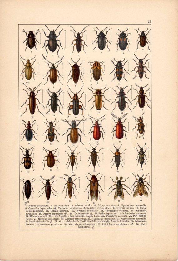 Exotic Beetle original lithography from 1905 Beetle II