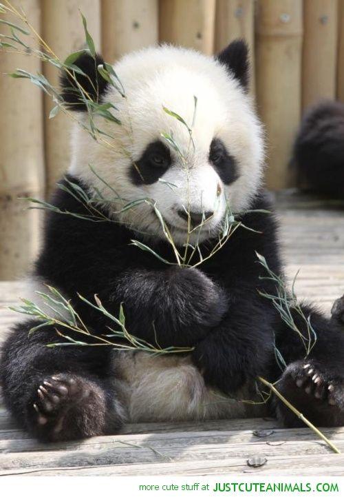 Cutest Panda Baby Cute baby pandas picturescute #animals ...