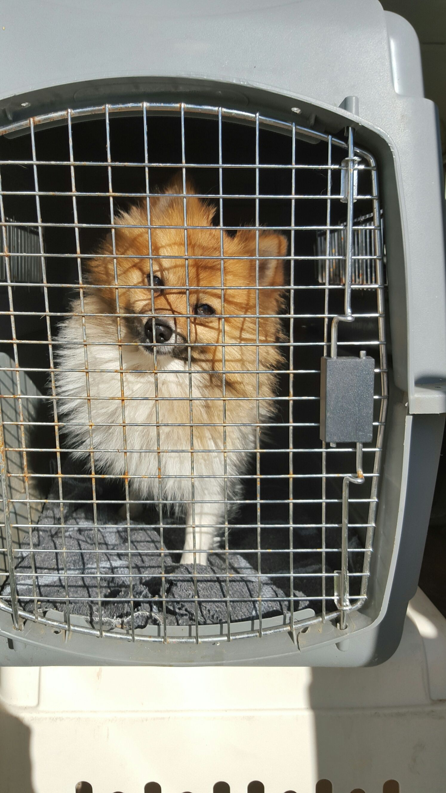Pomeranian Dog For Adoption In Vacaville Ca Adn 413819 On