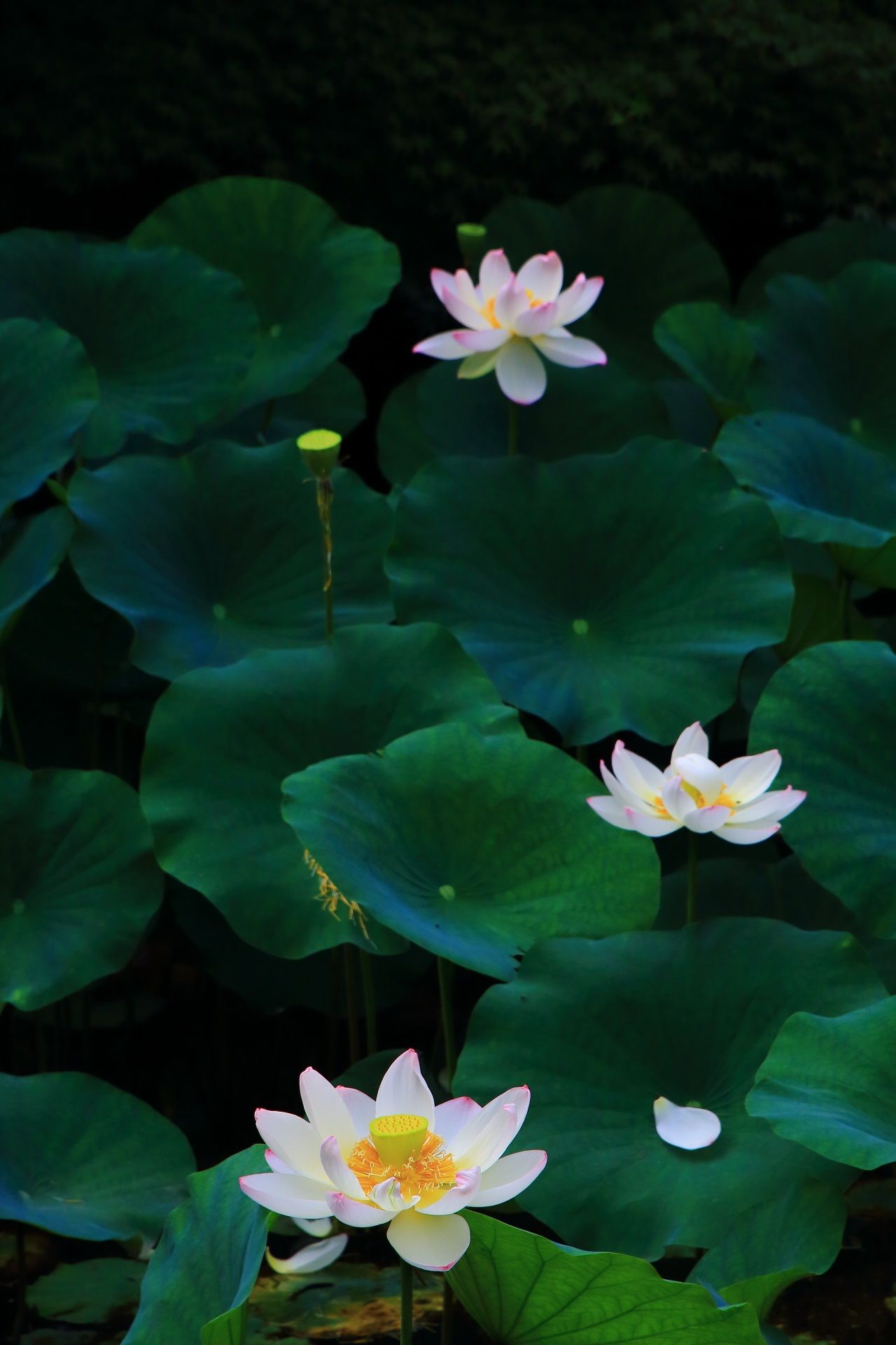 A Beautiful Lotus Of Chionin Temple In Kyoto Japan ハスの花 美しい庭 蓮の花