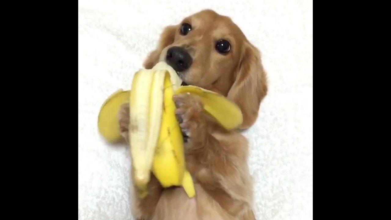 Dachshund Eats Banana Like A Human Banana Dachshund Dog Eating