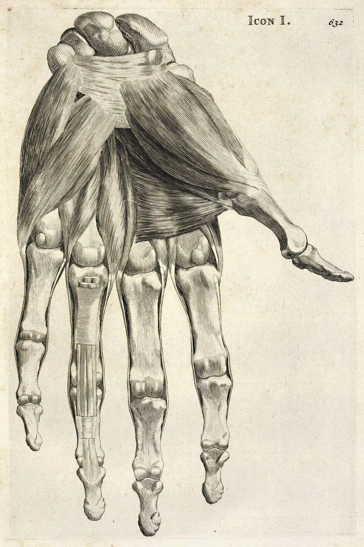 Bernhard Siegfried Albinus. Historia musculorum hominis. Leydae ...
