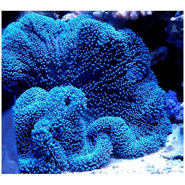 Blue Carpet Anemone Marine Happiness Sea Anemone Anemone