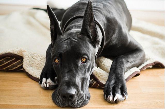 Pin On Great Danes