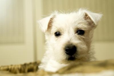 Cómo cuidar cachorros de Westie | Westies, Terrier and Animal