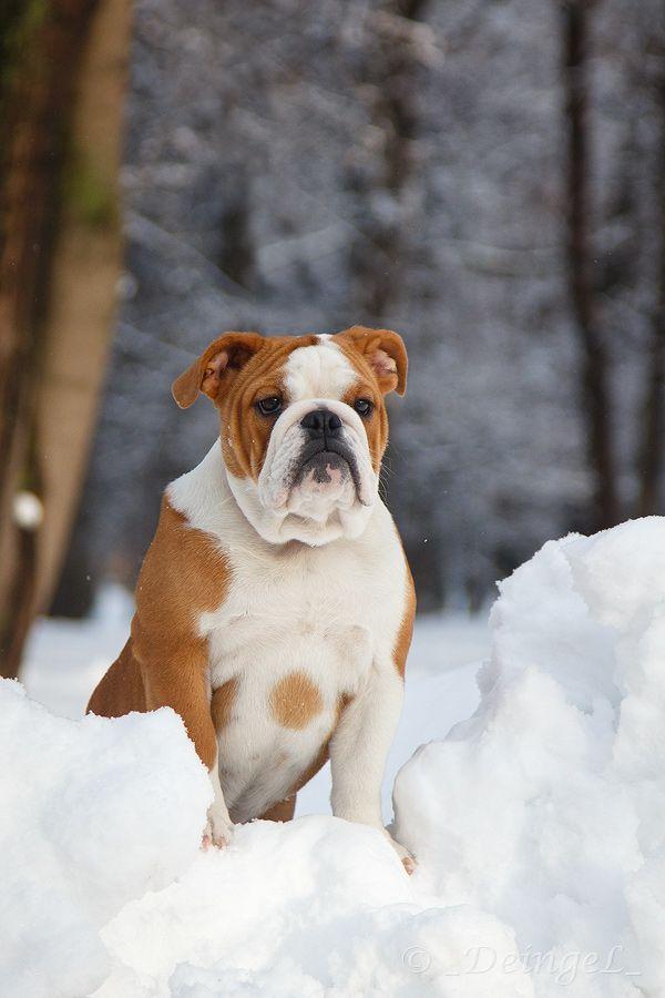 Winter Bulldoggie Bulldog Puppies English Bulldog Pictures