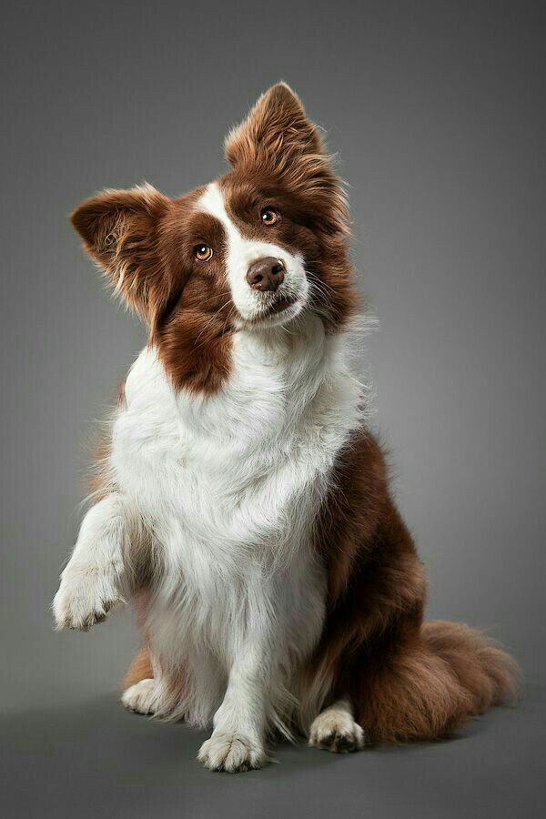 Liver Color Border Collie With Images Border Collie Colors
