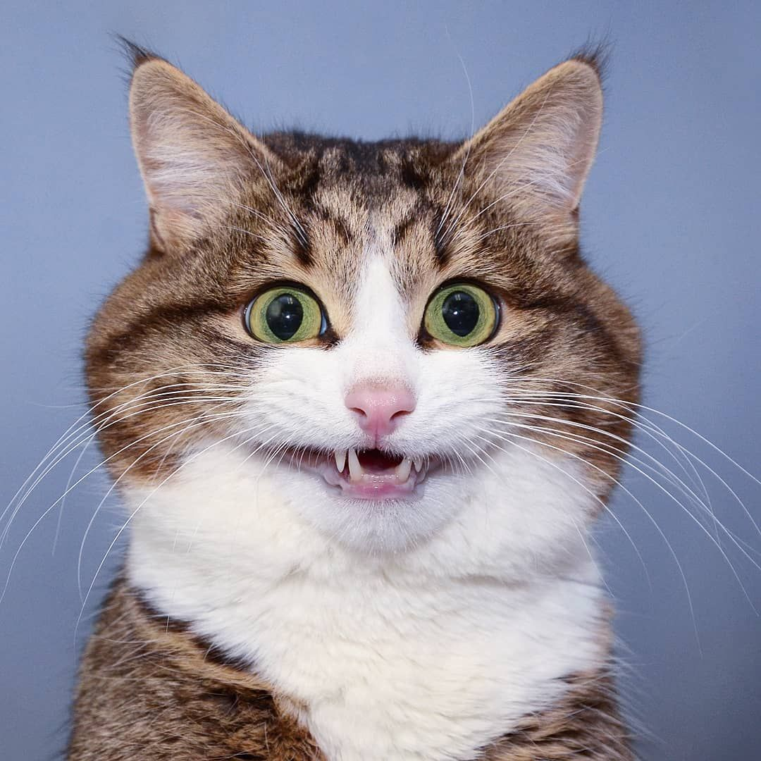 """Living emoji cat on Instagram """"Rexie So much mischief to"""