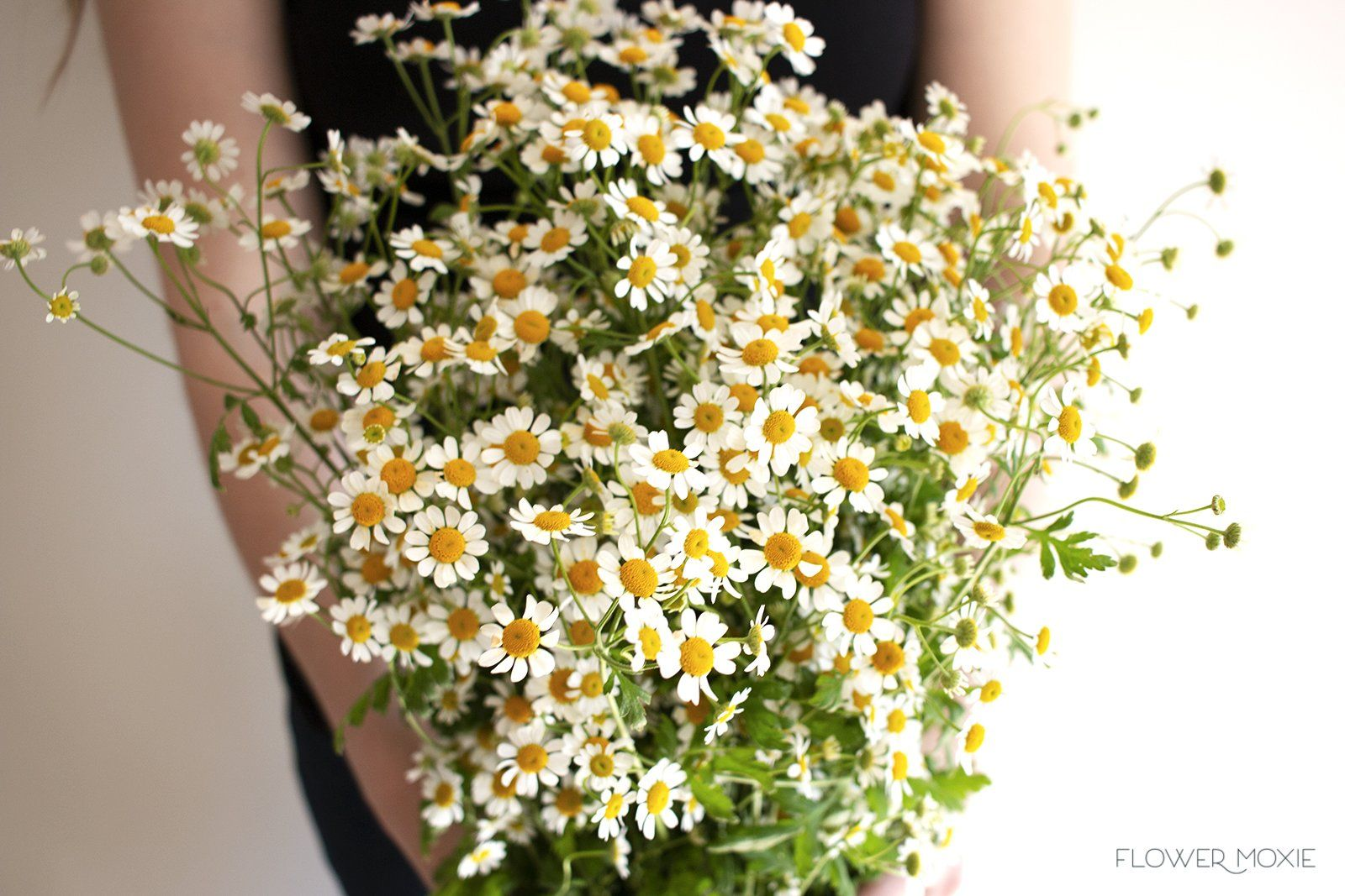 The Perfect Addition To Designs With A Wildflower Vibe Chamomile Looks Like Tiny Daisies Which Pr Bridal Bouquet Flowers Beautiful Bouquet Of Flowers Feverfew