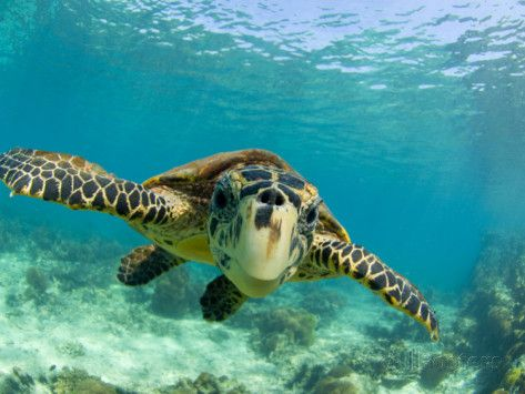 Sea Turtle, Swimming Underwater, Nosy Be, North Madagascar Photographic Print by Inaki Relanzon - AllPosters.co.uk